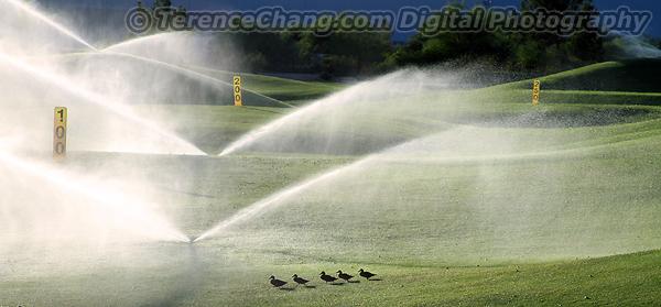Golf Ducks