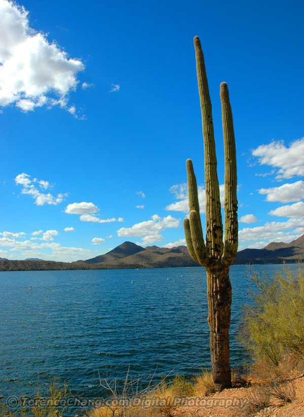 Cactus at Saguaro Lake